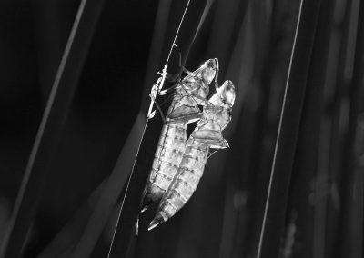 Libellenlarvenhüllen